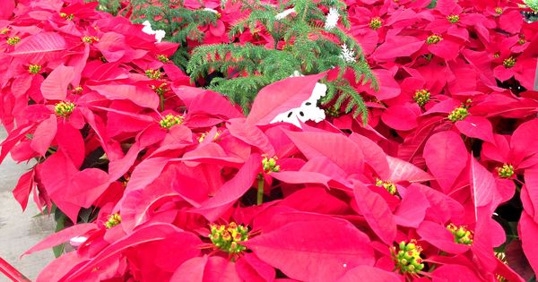 Poinsettias At Lowe S 1052 Tomball Tx With Images Garden