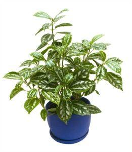 Aluminum Plant Watermelon Plant Pilea Cadierei Plants Plant Care Watermelon Plant
