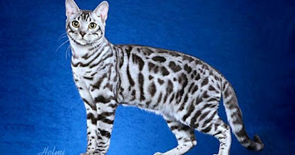 Blog About Cats Bengal Cat Behavior Silver Bengal Cat White Bengal Cat Bengal Kitten