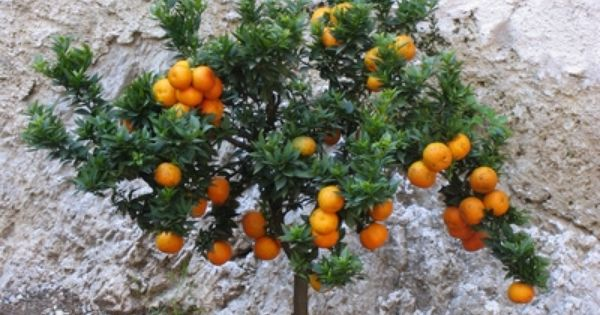 How To Propagate Citrus From Cuttings Ehow Growing Citrus Citrus Plant Citrus Trees
