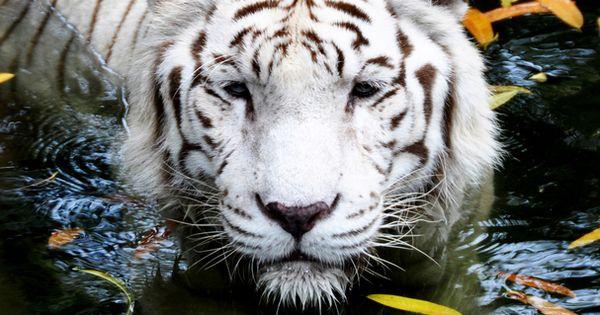 bengal tiger white tigres pinterest dormir maman. Black Bedroom Furniture Sets. Home Design Ideas