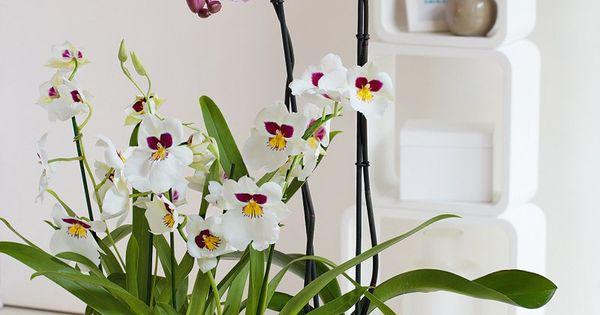 D corez votre int rieur avec un miltonia un phalaenopsis grandiflora truffaut plantes d - Arrosage orchidee d interieur ...