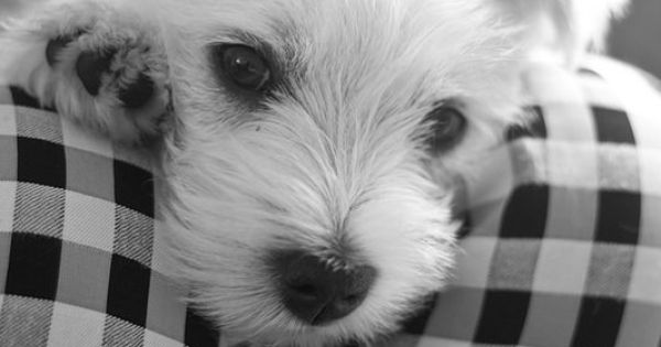 Sweet Olivia Westie pup