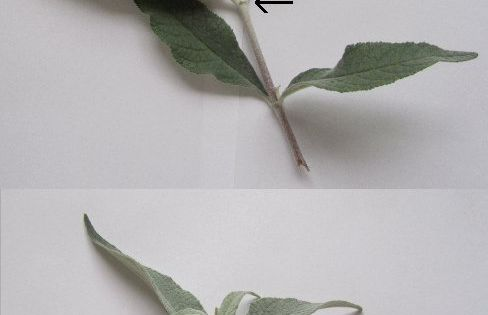 how to grow buddleia from a cutting