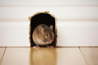 10 Rodent Control Tips For Your Place Getting Rid Of Rats Rodents Mouse Hole