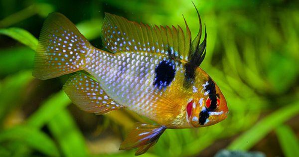Microgeophagus Ramirezi Aquarium Fish Fish Plants Tropical Freshwater Fish