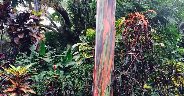 Rainbow Eucalyptus Tree At Sunken Gardens In St
