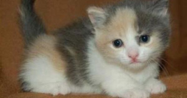 Why Are Calico Cats Always Female Calico Kitten Pretty Cats Calico Cat