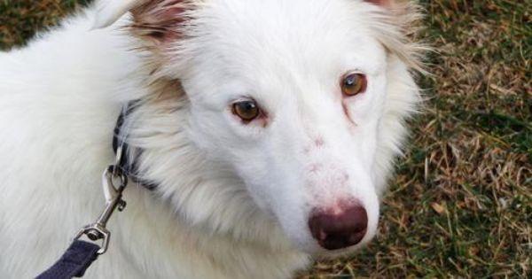 Adopt Brooke On Petfinder Border Collie Border Collie Dog Collie