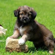 Image Result For German Shepherd Yorkie Mix Australian Shepherd