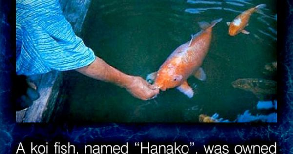 A koi fish named hanako was owned by several for Oldest koi fish