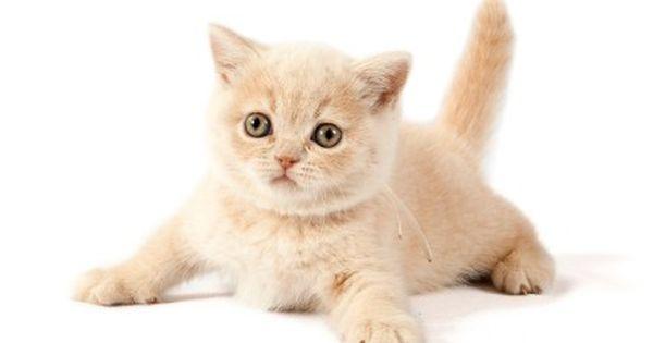 British Shorthair Creme Colour Www Coolbear Dk Brits Korthaar Katten Brits