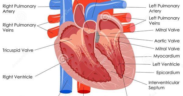 heart diagram labeled vector illustration of diagram of. Black Bedroom Furniture Sets. Home Design Ideas