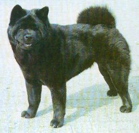 Pin By Jana Westerlund On Chows Chow Dog Breed Chow Chow Dogs