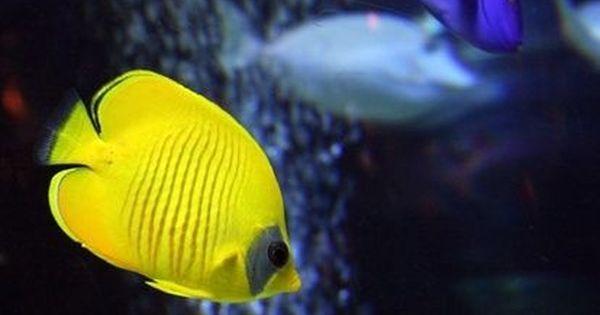 Freshwater Aquarium Fish Species Cpt Nemo 39 S Tank