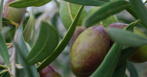 Growing olive trees outdoor and indoor olive tree care for Olive plant care