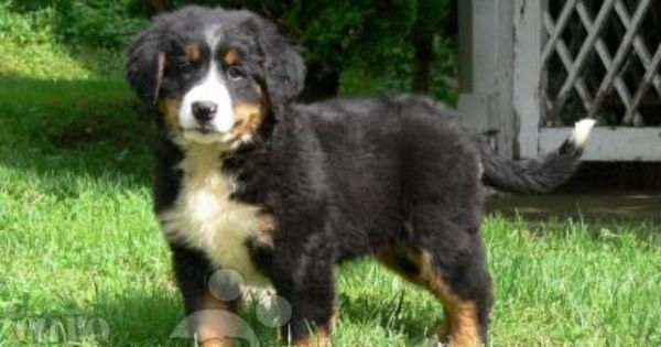 Bernese Mountain Dog Puppies Breed Information Tiere