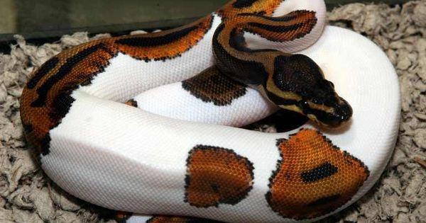 an half albino ball python,known as piebald ball python