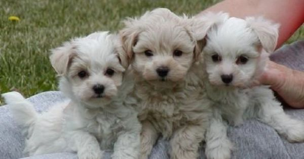 Teacup Maltipoos With Images Puppies Baby Dogs Maltipoo Dog