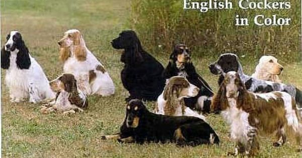 I Love All Colors Of English Cocker Spaiels Spaniel Cocker Spaniel Cocker Spaniel Ingles