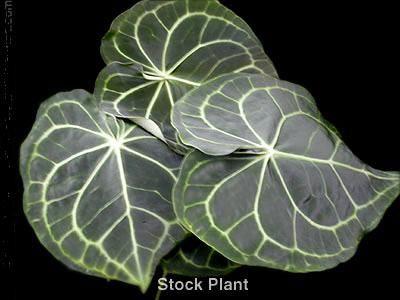 Anthurium Clarinervium Nse Tropicals Anthurium Unique Plants Plants