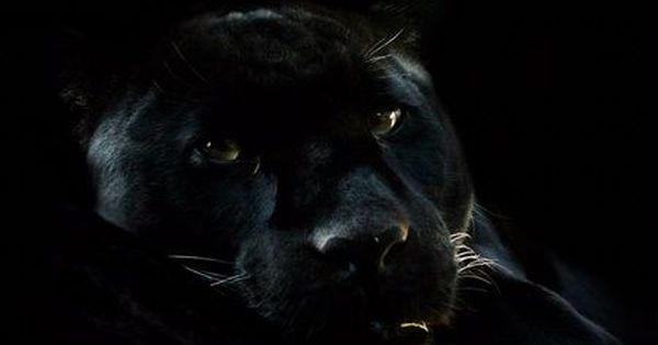 Awesome Black Panther Desktop Nexus Wallpapers Black Panther Cat Black Panther Panther Cat