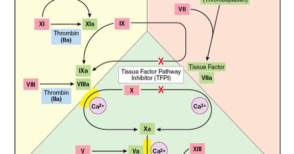 coagulation pathway and physiology 271 anatomy and physiology of the male reproductive system  final coagulation pathway activated either by the intrinsic or the extrinsic pathway,.