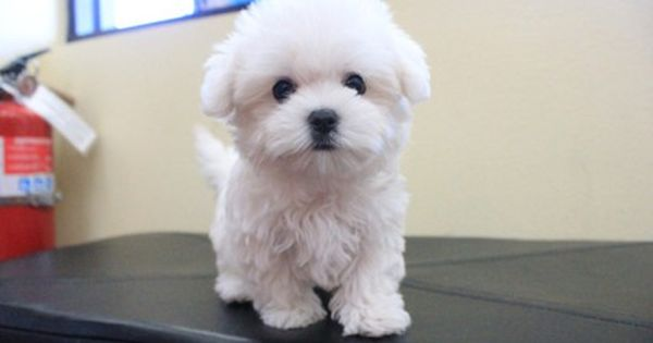 Image Result For How Much Do Maltese Puppies Cost