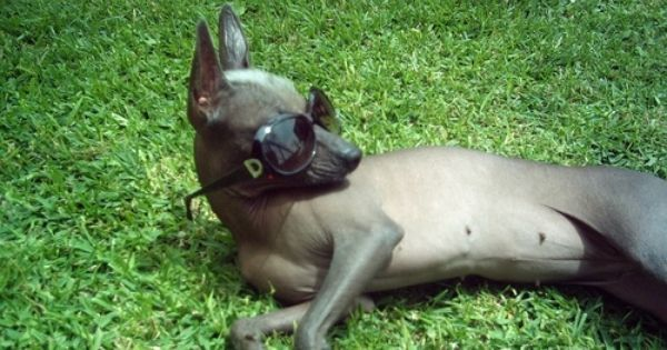 Our future dog. Xoloitzcuintli, Hairless except for that