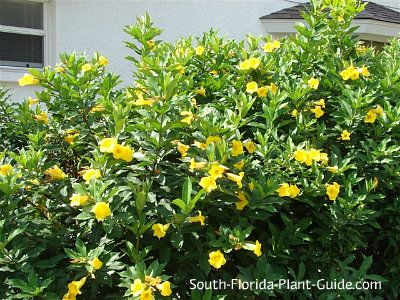 Bush Allamanda Florida Landscaping