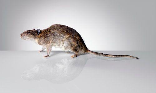 Remedio natural e infalible para eliminar las ratas y los ratones casa y natural - Como alejar las ratas de la casa ...