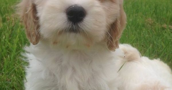 Dogs For Sale In Ireland Dogs For Sale Dogs Cavachon