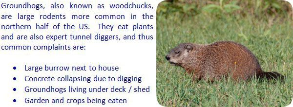 How To Keep Groundhogs Away From Your Yard Garden Shed Get Rid Of Groundhogs Best Pest Control Groundhog
