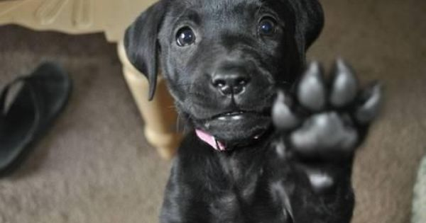 Black Lab Puppy Everything That Shine Ain T Always Gonna Be Gold Dogs Friday Dog Funny Animals