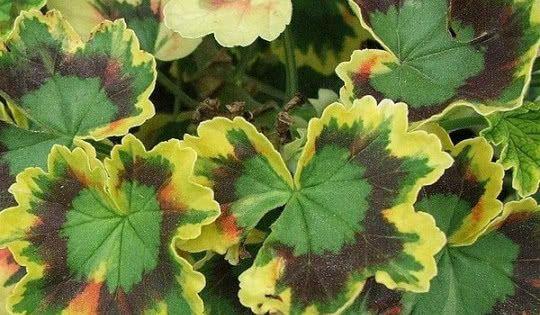 Pelargonia O Ozdobnych Lisciach Fot Jerzy Opiola Wikimedia Commons Cc Geraniums Growing Geraniums Plant Leaves