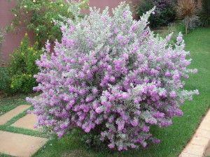 Nome Cientifico Leucophyllum Frutescens Nomes Populares Folha De