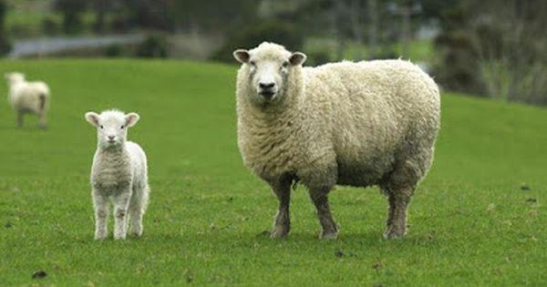 صوت الخروف With Images Sheep Breeds Farm Animals Pictures Funny Sheep