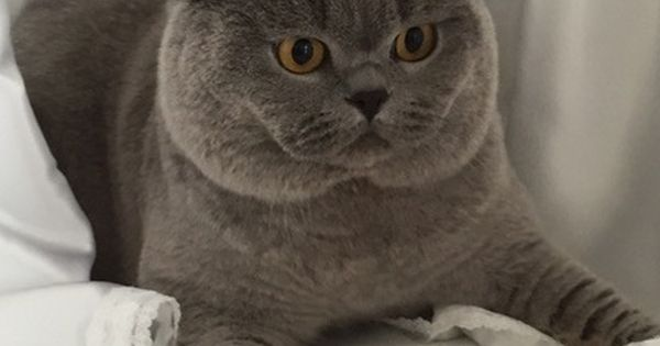 Lynx British Shorthair Our Cats British Shorthair British Shorthair Cats British Blue Cat