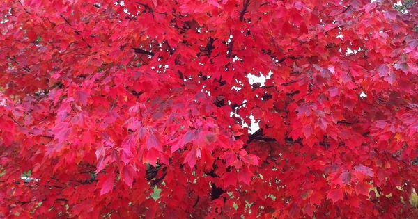 acer rubrum canadese esdoorn prachtige herfstkleuren