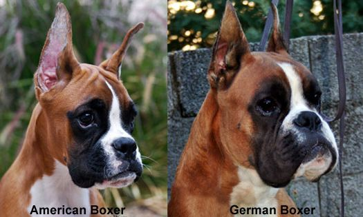 Havenwoods Boxers Top Quality Akc German European And American Boxers Description From Dogbreedspicture Net I Searched For Boxer Dogs Boxer Breed Cute Dogs