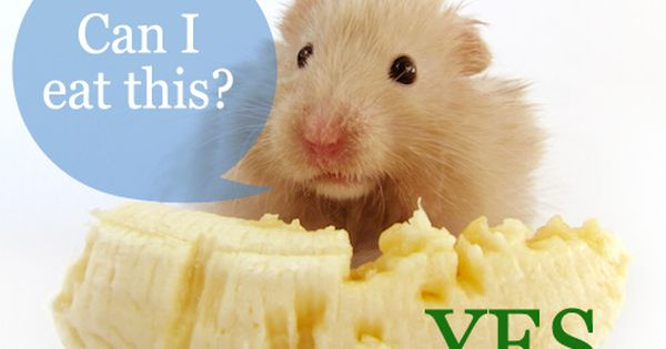 Hamster Food Treats Diet What Types How Much Often