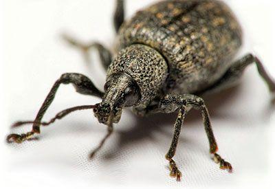 How To Control Black Vine Weevils Planet Natural Vine Weevil Lawn Pests Plant Pests