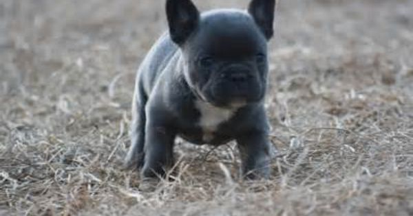 Image Detail For Faux Frenchie And Mexican Frenchie Puppies