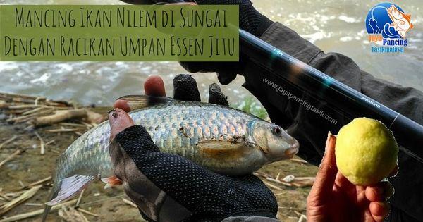 Cara Meracik Umpan Ikan Nilem Di Sungai Paling Mantap Dan Jitu Dengan Tambahan Aquatic Essen Yang Mampu Meningkatkan Hasil Pancingan Ikan Ni Essen Ikan Pancing
