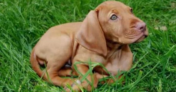 Cute Rhodesian Ridgeback Puppy Rhodesian Ridgeback Puppies Cute Cats And Dogs Puppies