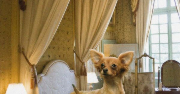 chihuahua dog houses a chihuahua mix relaxing in a luxuriously appointed dog 5723