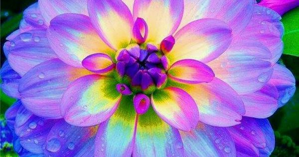 Glowing Dalila Sooo Pretty Flowers Of The World