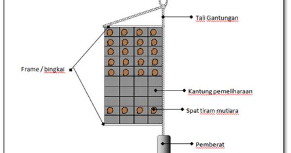 Teknik Dan Analisa Usaha Pembenihan Tiram Mutiara Pinctada Maxima Jenis Kerang Mutiara Penghasil Mutiara Lombok Teknik Mutiara Kerang