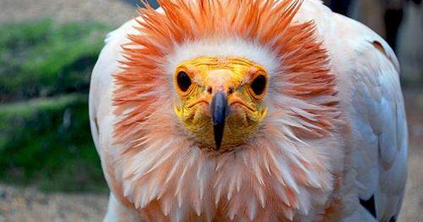 Abutres E Urubus Conheca As Aves Mais Estranhas Do Mundo