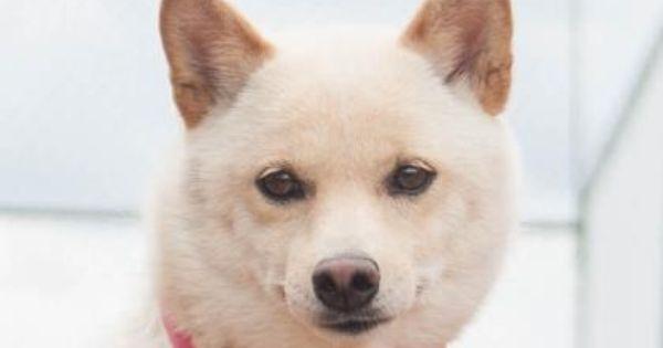 Petango Com Meet Suki A 2 Years 10 Months Shiba Inu Available
